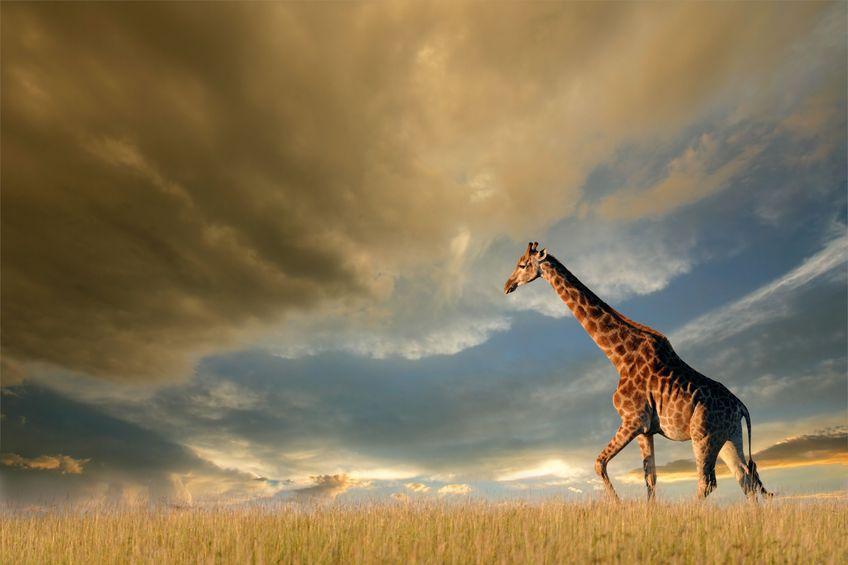 Giraffe-Strategic-Growth-Plan