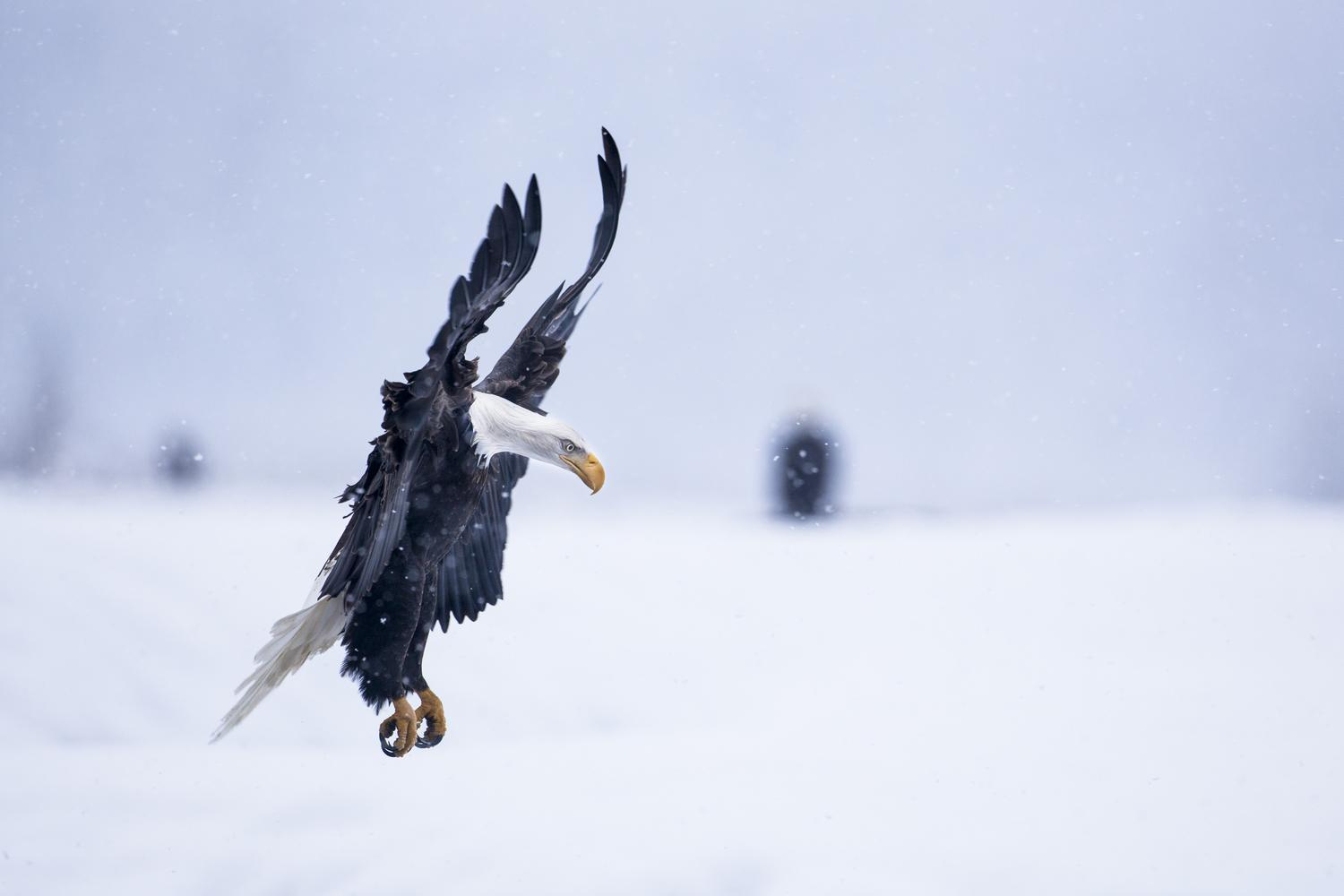 stock-photo-bald-eagle-landing-in-snowstorm-18166129