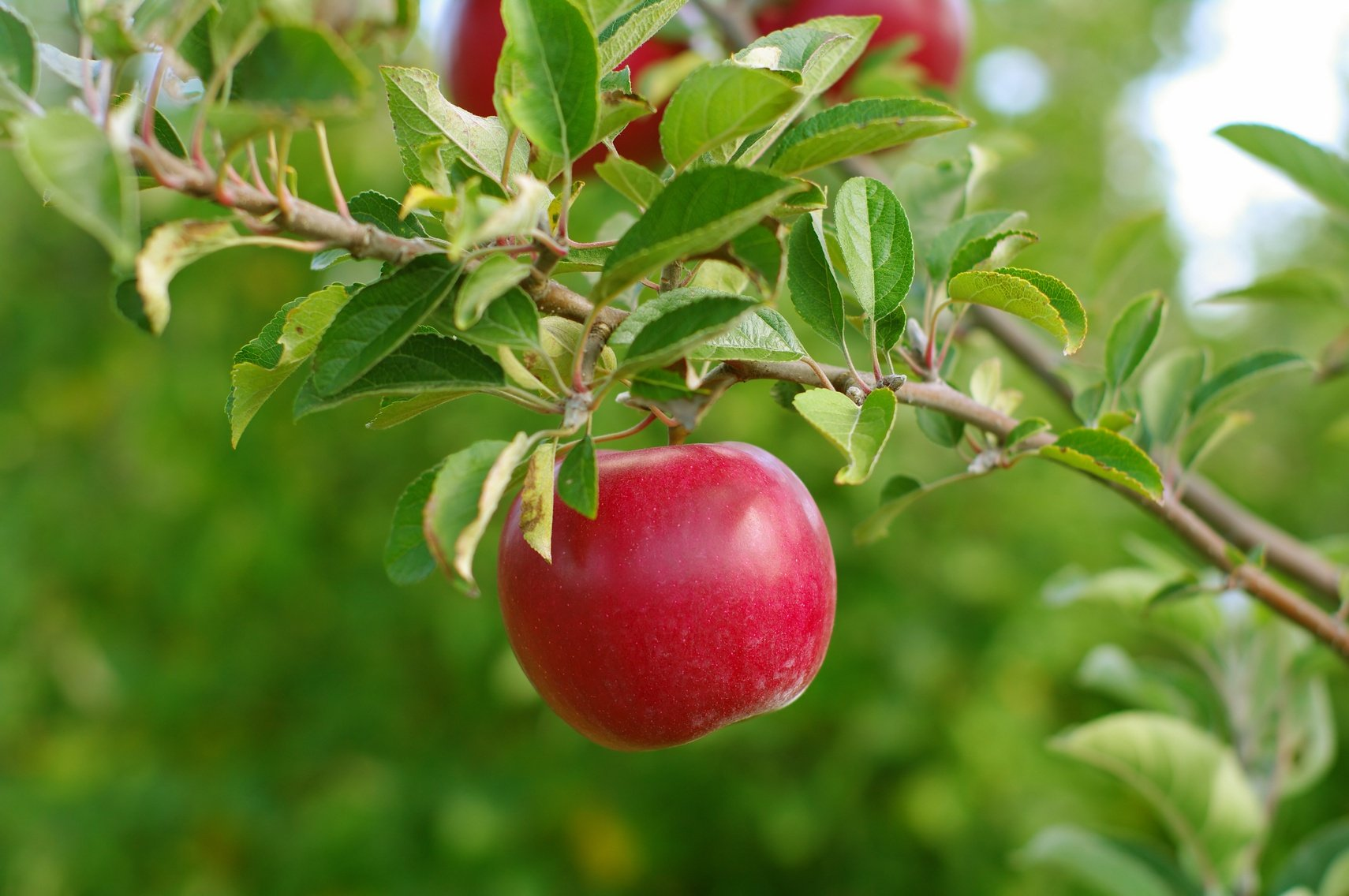 The Rotten Truth about Low-Hanging Fruit in Business – and